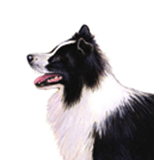 Border Collie
