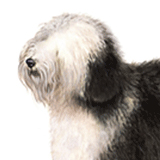 Old English Sheep Dog